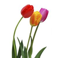 kap4_oppg6_tulipan.jpg