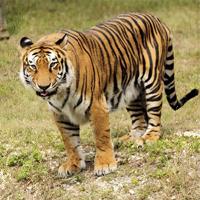 kap1_oppg2_tiger.jpg