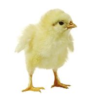 kap 4 oppg 3_kylling.jpg